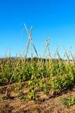 Vainas de la soja en el campo soleado Fotos de archivo libres de regalías