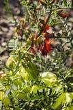Vainas de las flores de los frutescens de Lessertia Imagen de archivo libre de regalías