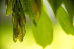 Vainas del germen del árbol de arce fotografía de archivo