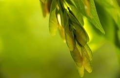 Vainas del germen del árbol de arce fotos de archivo libres de regalías