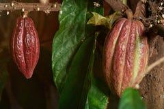 Vainas del rojo del cacao Fotografía de archivo libre de regalías