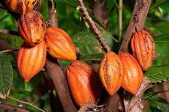 Vainas grandes del cacao del grupo Fotos de archivo