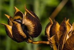 Vainas hermosas de la semilla listas para ser desembolsado Imagenes de archivo