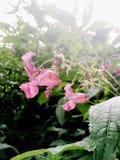Vainas Himalayan de la flor y de la semilla del bálsamo Imagen de archivo libre de regalías