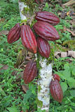 Vainas múltiples del cacao de Arriba Imagen de archivo libre de regalías