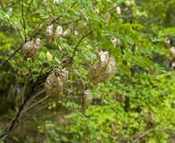 Vainas maduras con las semillas del acacia Foto de archivo libre de regalías