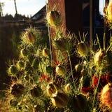 Vainas salvajes de la semilla Fotos de archivo
