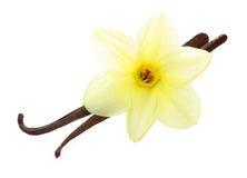 Vainas y flor de la vainilla Imagen de archivo libre de regalías