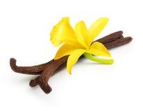 Vainas y flor de la vainilla imagen de archivo