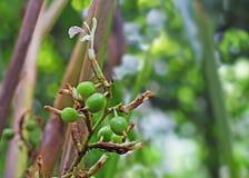Vainas y flor inmaduras del cardamomo en planta Imágenes de archivo libres de regalías