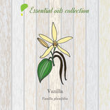 Vainilla, etiqueta del aceite esencial, planta aromática Imágenes de archivo libres de regalías