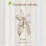 Vainilla, etiqueta del aceite esencial, planta aromática Imagen de archivo libre de regalías