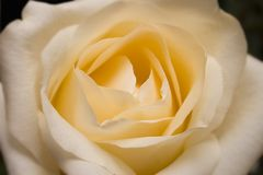 Vainilla Rose Foto de archivo libre de regalías
