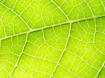 Vains macros de la hoja verde brillantes Fotos de archivo libres de regalías