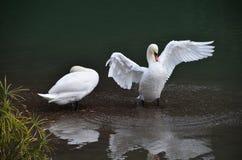 vak för swan för lake sova övre arkivbild