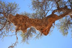Big birds nest. Build by weavers in kgalagadi transfrontier park, south africa royalty free stock image