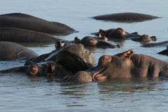 Hippos in lake. Some relaxing hippos in lake st lucia, south africa royalty free stock photo