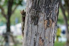 Vaken brun ekorre på ett träd Fotografering för Bildbyråer
