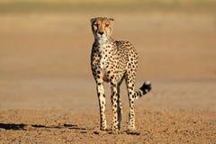 Vaken Cheetah Arkivfoto