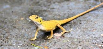 Vaken gul kameleont Arkivbild