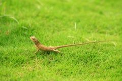 Vaken gul kameleont Arkivfoton