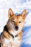 Vaken hund i snön Fotografering för Bildbyråer