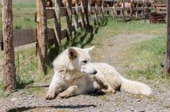 Vaken hund på vakten i lantlig region Fotografering för Bildbyråer