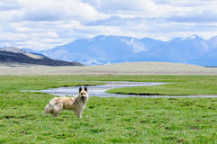 Vaken hund på vakten i lantlig region Royaltyfria Bilder