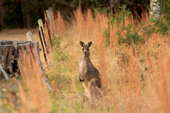 Vaken känguru Royaltyfria Foton