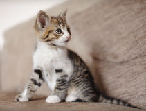 Vaken kattungekatt Royaltyfri Bild