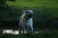 Vaken labrador Royaltyfri Bild