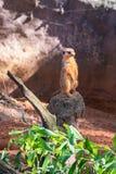Vaken meerkat som söker efter rovdjur arkivbilder