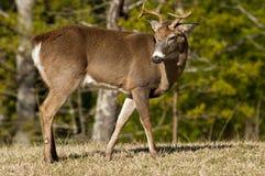 Vaken vit tailed bock i Great Smoky Mountains. royaltyfri bild