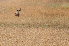 Vakna hjortar i fält royaltyfri fotografi