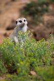 Vakna meerkats som står vakten Arkivfoto