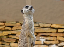 Vakna Meerkats utanför Arkivbild