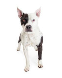 Vakna Pit Bull Guard Dog royaltyfri foto