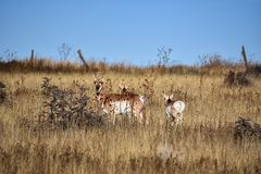 Vakna Pronghorn eller amerikansk antilop royaltyfria bilder