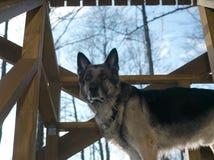 Vaksam hund på verandan royaltyfri foto