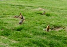 Vaksamma murmeldjur Fotografering för Bildbyråer
