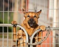 Vakt Dog Looking Out bakifrån en trådport Royaltyfria Bilder