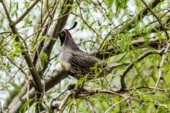 Vaktel för Gambel ` s på trädlemmen i Arizona Royaltyfria Bilder