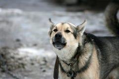 Vakthund i vintern Royaltyfria Foton