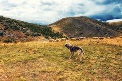 vakthund och får royaltyfria foton