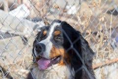 Vakthunden, hund för det Bernese berget, sitter i buren bak det netto arkivbild