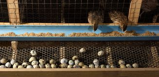 Vaktlar och ägg i en bur på en lantgård royaltyfri bild