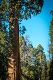 Vaktpostträd jätte- sequoia Kalifornien USA Royaltyfri Foto