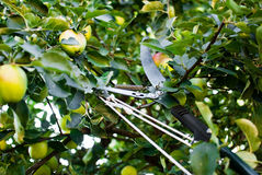 Valäpplen i fruktträdgård vid secateur royaltyfri foto