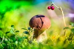 Val av champinjoner och av tranbär i skog i tidig höst royaltyfri bild