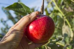 Val av det saftiga äpplet Royaltyfri Foto